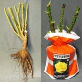 Gardenland, Gardenland USA, Bare Root vs Potted